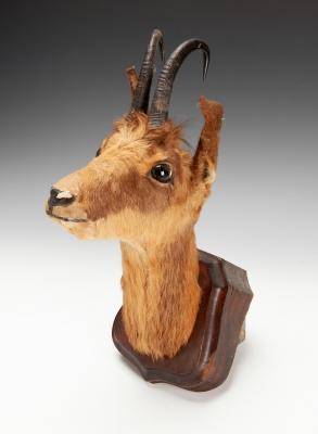 Cabeza disecada de gacela, principios del siglo XX.