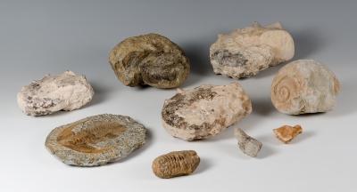 Nueve fósiles de insectos y caracolas gigantes.